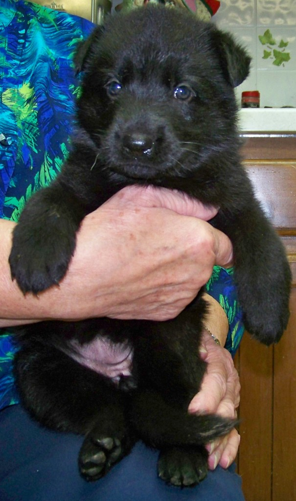 4 week old Black Female - Orange collar female is ready to volunteer to have fun with you!