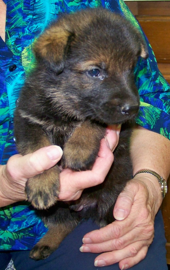 4 week old Sable male - Black collar male hears all and wants to go