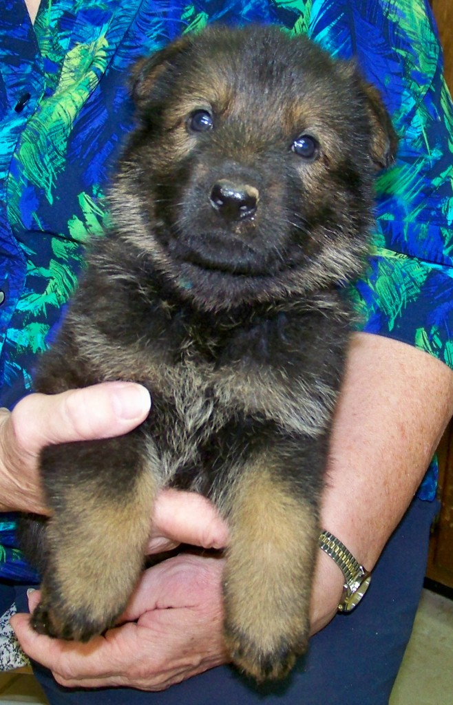 4 week old Sable Female - Blue collar female follows her nose to fun
