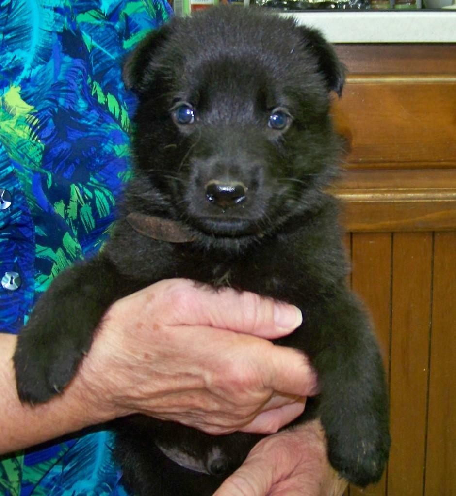 4 week old black male - Leather collar male is alert and ready to GO!