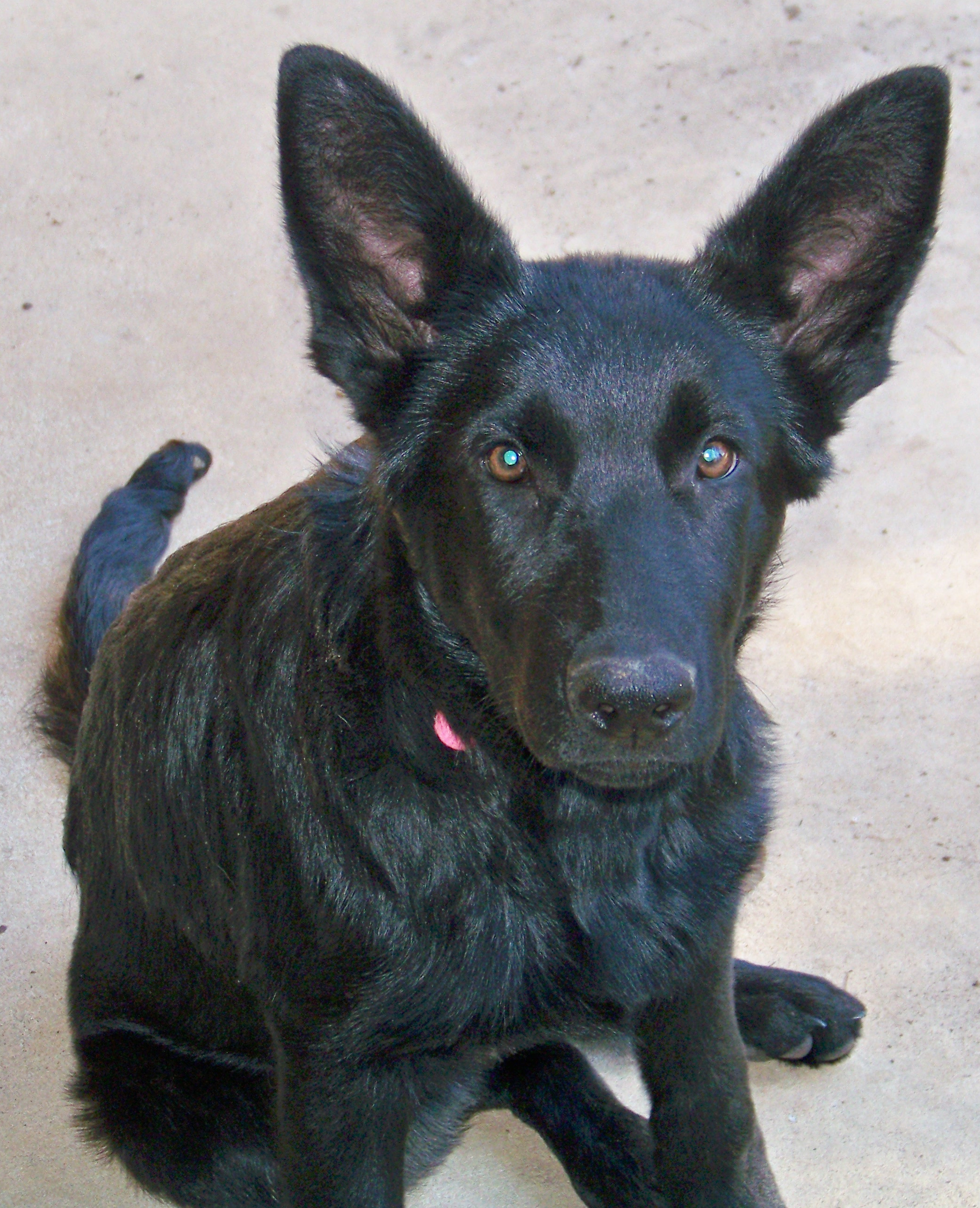 all black very sweet pupply still available cherokee springs i am eager to help or play
